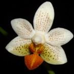 Φωτογραφία Phalaenopsis Mini Mark. Επιλέχθηκε γιατί αποστολή μας είναι να αφήσουμε το μικρό μας σημάδι.