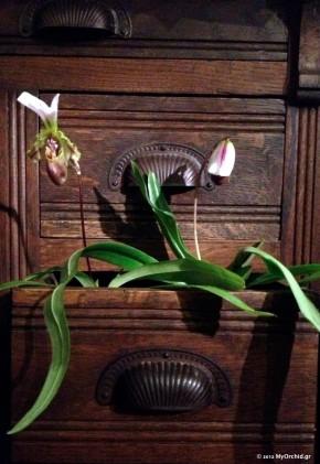 Paph spicerianum. Φωτογραφία από κινητό τηλέφωνο.