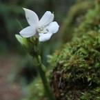 Ορχιδέα στην φύση μεγαλώνει και ανθίζει πάνω σε κορμό με βρύα.