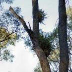 Ορχιδέες όπως μεγαλώνουν επιφυτικά στην φύση.
