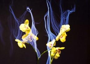 """Με ειδικά ηλεκτρόδια, οι ερευνητές απεικόνισαν γραφικά μια """"αύρα"""" γύρω από μια ορχιδέα φαλαινόψις. Κάθε φορά που πλησίαζε ένα χέρι εμφανιζόταν διαφοροποιήσεις πριν αγγίξει το φυτό."""