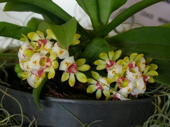 Gastrochilus japonicus