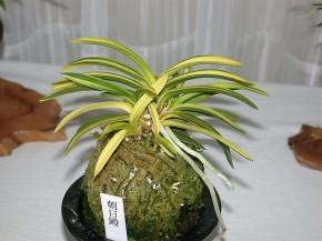 """Φουκιράν """"Ασασίντεν"""" σε Ιαπωνική γλάστρα. Ακόμη και σήμερα στην κρίση φυτών προς έκθεση, μεγάλο ρόλο παίζει το πως είναι τοποθετημένο το σφάγνο."""