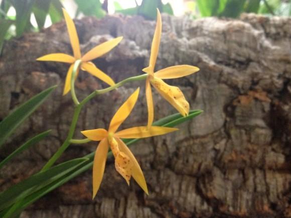 Οι περισσότερες ορχιδέες, είναι επίφυτα, δηλαδή μεγαλώνουν αγκιστρωμένες πάνω σε δέντρα.