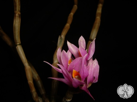 Dendrobium bracteosum (purple form)
