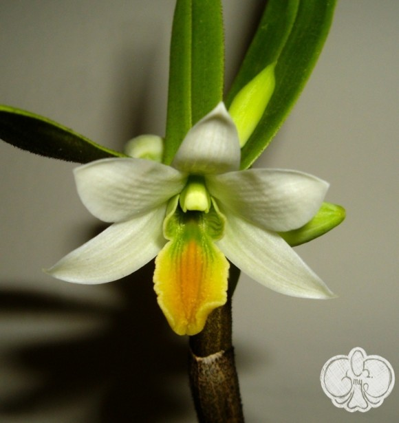 Dendrobium scabrilingue