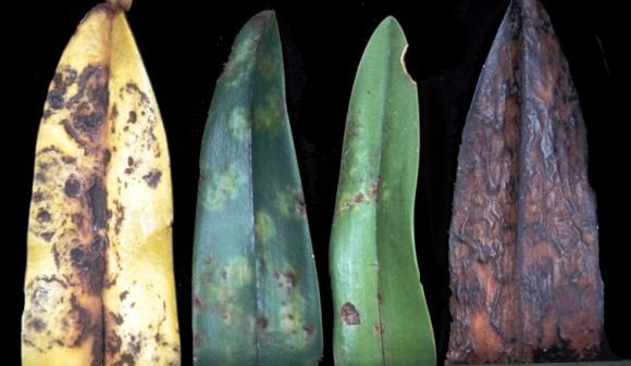 ORSV σε διαφορετικές εκφάνσεις σε φύλλα ορχιδέων.