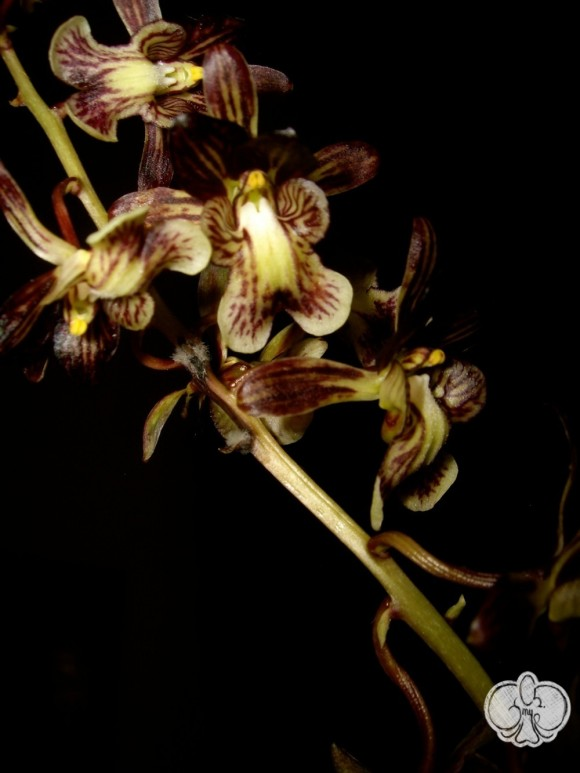 Oeceoclades saundersiana