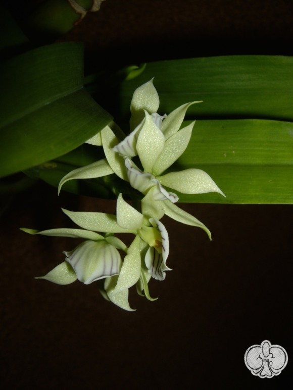 Anacheilium fragrans