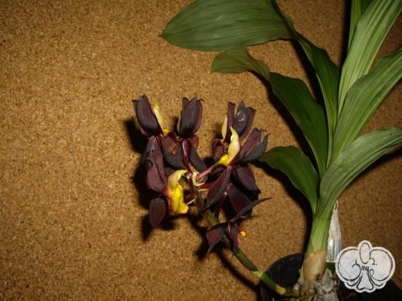 Catasetum tenebrosum