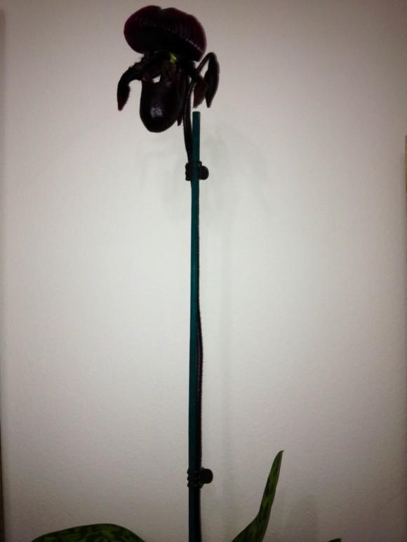 """Το ίδιο φυτό της προηγούμενης φωτογραφίας έχει χαρακτηριστεί από πελάτες μας ως """"Μαύρος Κύκνος"""""""