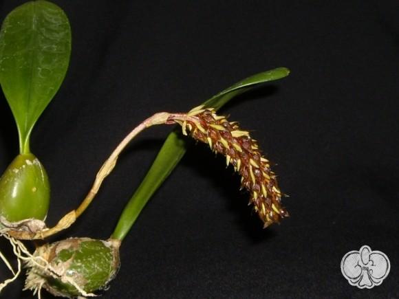 Bulbophyllum careyanum