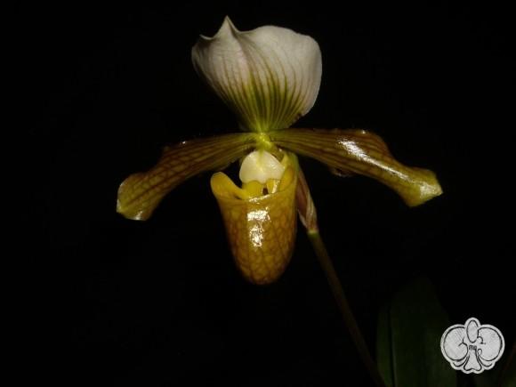 Paphiopedilum Hung Sheng Venus (alba)