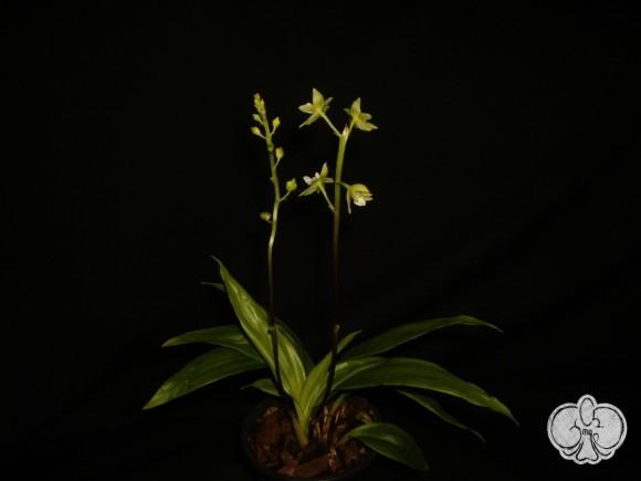 Paradisanthus micranthus