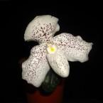 Paphiopedilum concobell x niveum