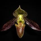 Paphiopedilum wardii